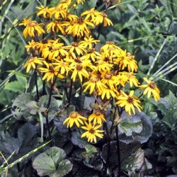 Ligularia Dentata Midnight Lady