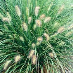 Pennisetum Oriental