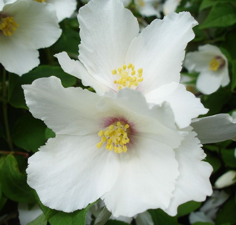 Philadelphus Belle Etoile Wood Cottage Nursery