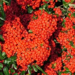 Pyracantha Rouge Cadrou