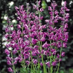 Salvia Pratensis Sweet Esmeralda