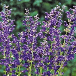 Salvia Pratensis Twilight Serenade