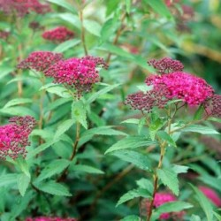 Spiraea Bulmalda Darts Red