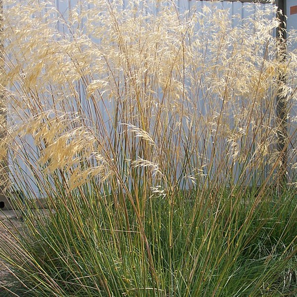 Stipa gigantea wood cottage nursery for Giant ornamental grass