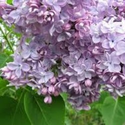 lilac katherine havemeyer