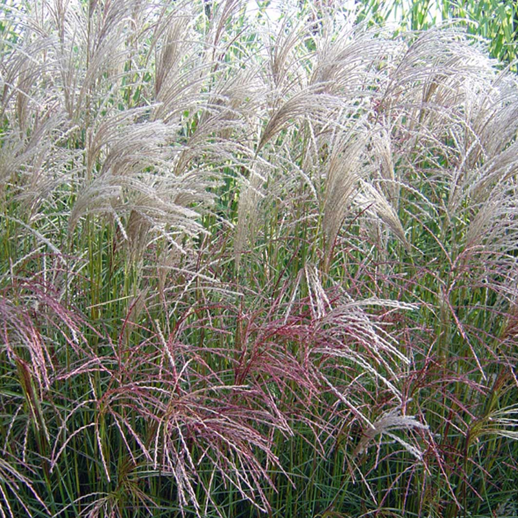 Miscanthus Sinensis Grosse Fontaine Wood Cottage Nursery