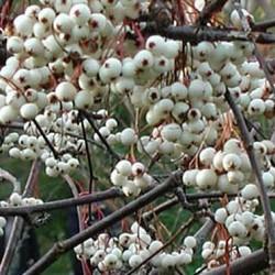 sorbus white wax