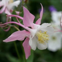 Aquilegia Rose Queen