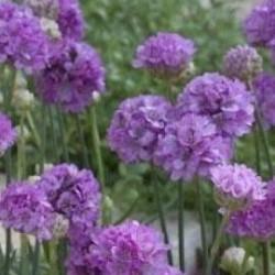 Armeria Joystick Lilac Shades