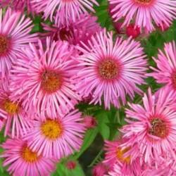 Aster Novae-Angliae Barrs Pink