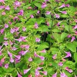 Calamintha Grandiflora Elfin Purple