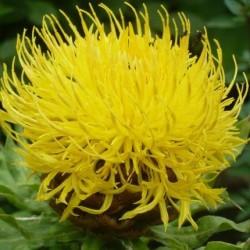 Centaurea Macrocephala