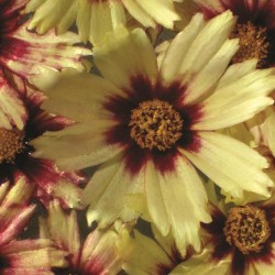 Coreopsis Big Bang Redshift