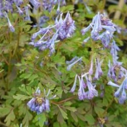 Corydalis  flexuosa pere david1