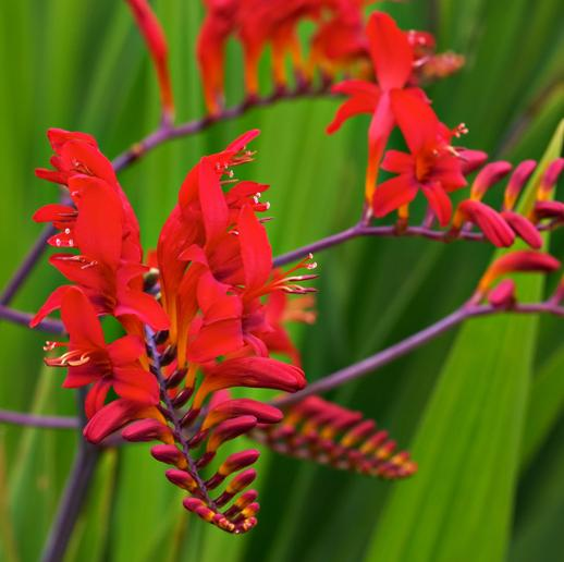 Crocosmia Lucifer Wood Cottage Nursery