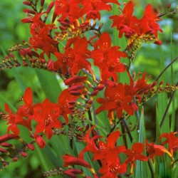 Crocosmia Lucifers Children