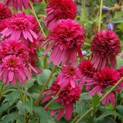 Echinacea Secret Affair
