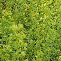 Euphorbia Characias Forescate