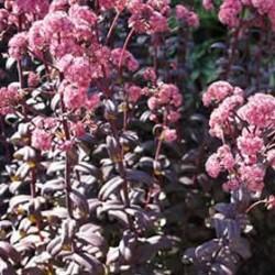 Sedum Telphinium Purple Emperor