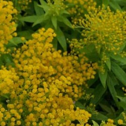 Solidago Golden Thumb