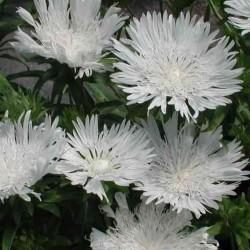 Stokesia Laevis White Star