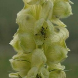 Aconitum anthora