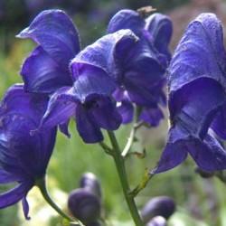 aconitum newry blue