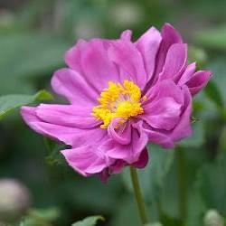 anemone margarete