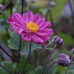 anemone prince heinrich