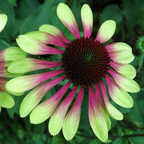 echinacea green envy wood cottage nursery. Black Bedroom Furniture Sets. Home Design Ideas