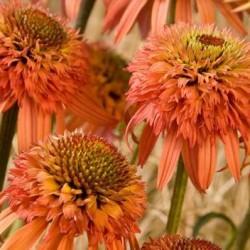 echinacea irresistible