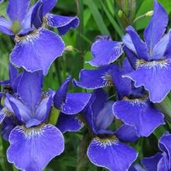 iris sibirica silver edge