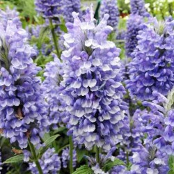 nepeta blue moon
