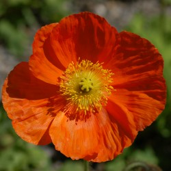 papaver champagne bubbles orange