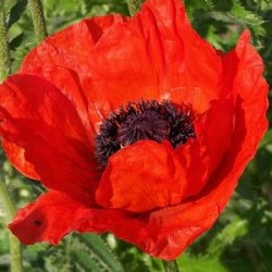 papaver orientale beauty of livermere