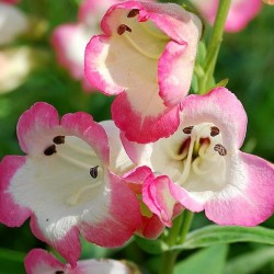 penstemon osprey