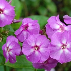 phlox flame lilac