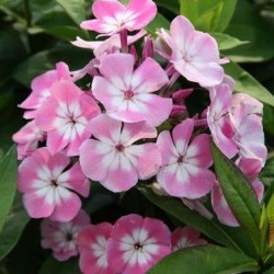 phlox flame pink eye