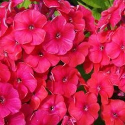 phlox red riding hood