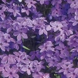 phlox stolonifera purpurea