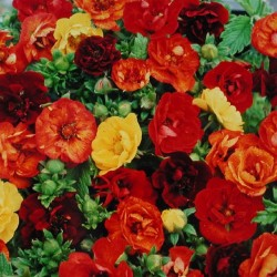 potentilla fireball mixed