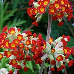 primula sunset shades