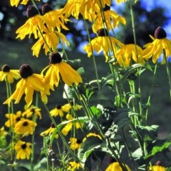 rudbeckia grandiflora sundance