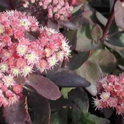 sedum strawberry and cream