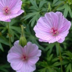 Geranium Sanguineum Glenluce