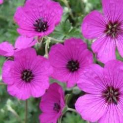 Geranium Subcaulescens Giuseppii