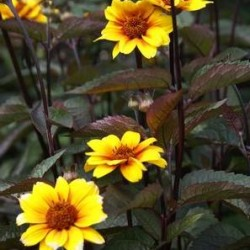 Heliopsis Helianthoides Scabra Summer Nights