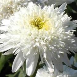 Leucanthemum Ice Star