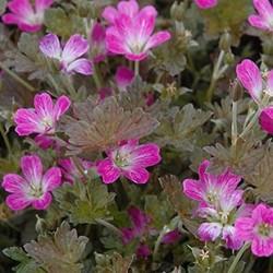 geranium orkney pink