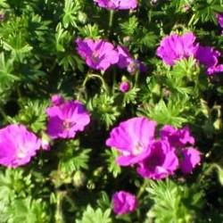 geranium sanguineum max frei